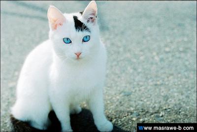 صور صور قطط كيوت 2020 خلفيات قطط جميلة جدا cats52.png