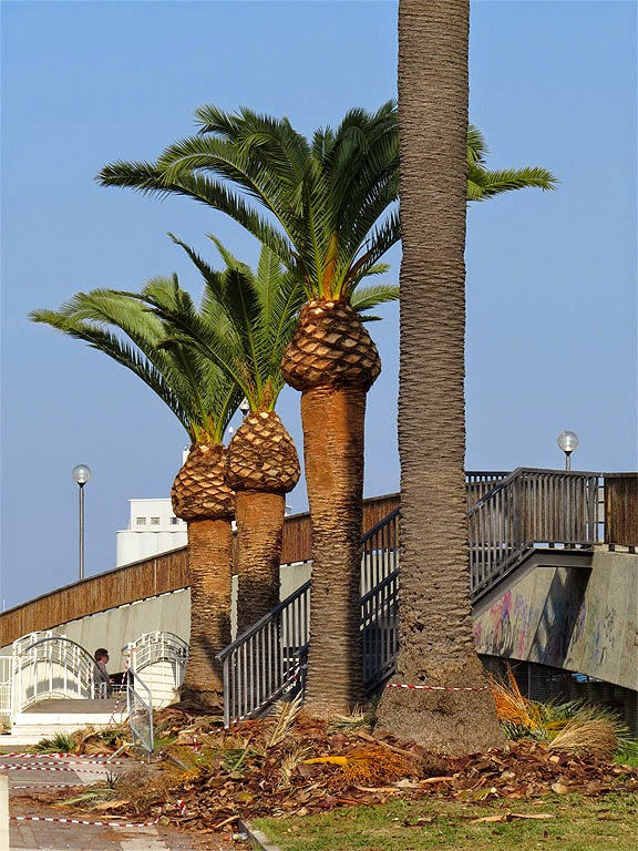 Freshly-pruned palm trees, Livorno