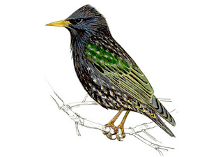 https://www.xeno-canto.org/sounds/uploaded/ZNCDXTUOFL/XC130063-Sturnus_vulgaris_Jablonna_Polska_Jarek_Matusiak_20130417_52.mp3