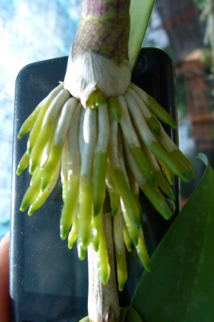 Kết quả hình ảnh cho kích rễ lan