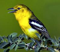 Dengan Menjauhkan Burung Dari Burung Lainnya Yang Petarung