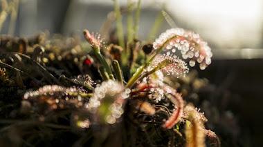 Plantas carnívoras: por sus trampas las conoceréis