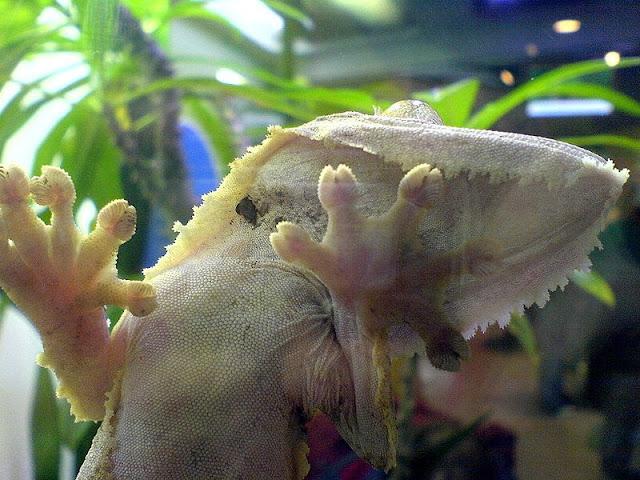 Как геккон держится на стекле