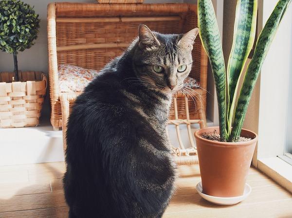 窓際のサンセベリアと見返りキジトラ猫