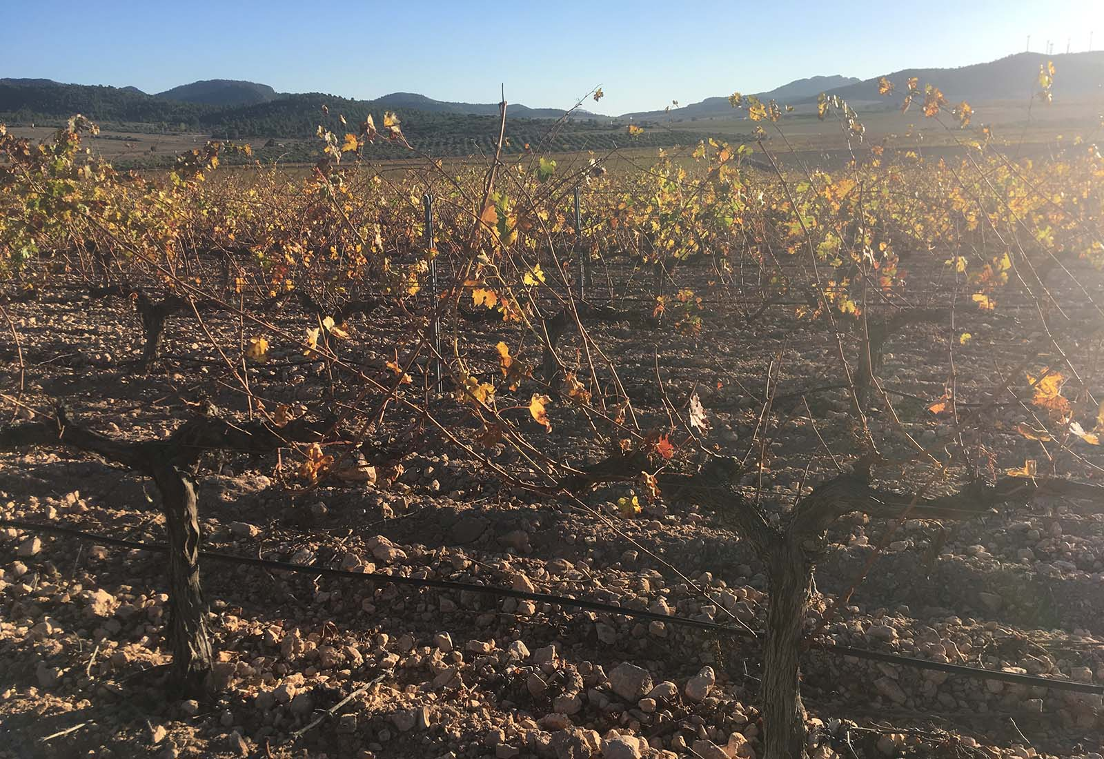 Viñas de la Carrasquilla (entre las Atalayas y el Puerto). Yecla, otoño 2018