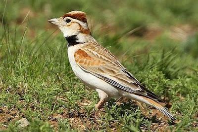 Perbedaan Akurat Burung Pailing Jantan Dan Betina Di Lihat Dari Segi Fisik