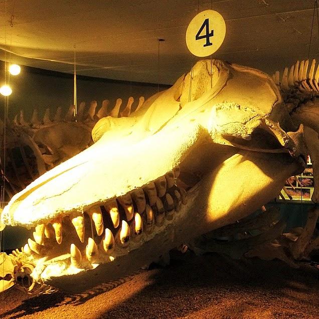 Cabeça de Baleia Orca no Museu Oceanográfico de Rio Grande