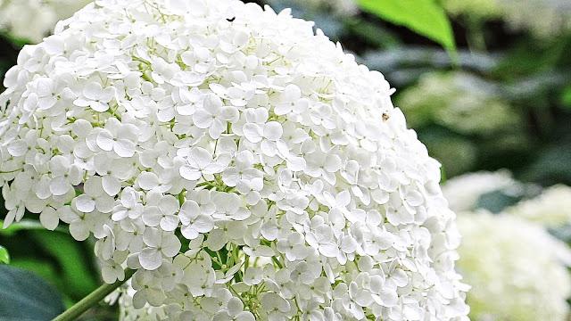 Witte hortensia struik