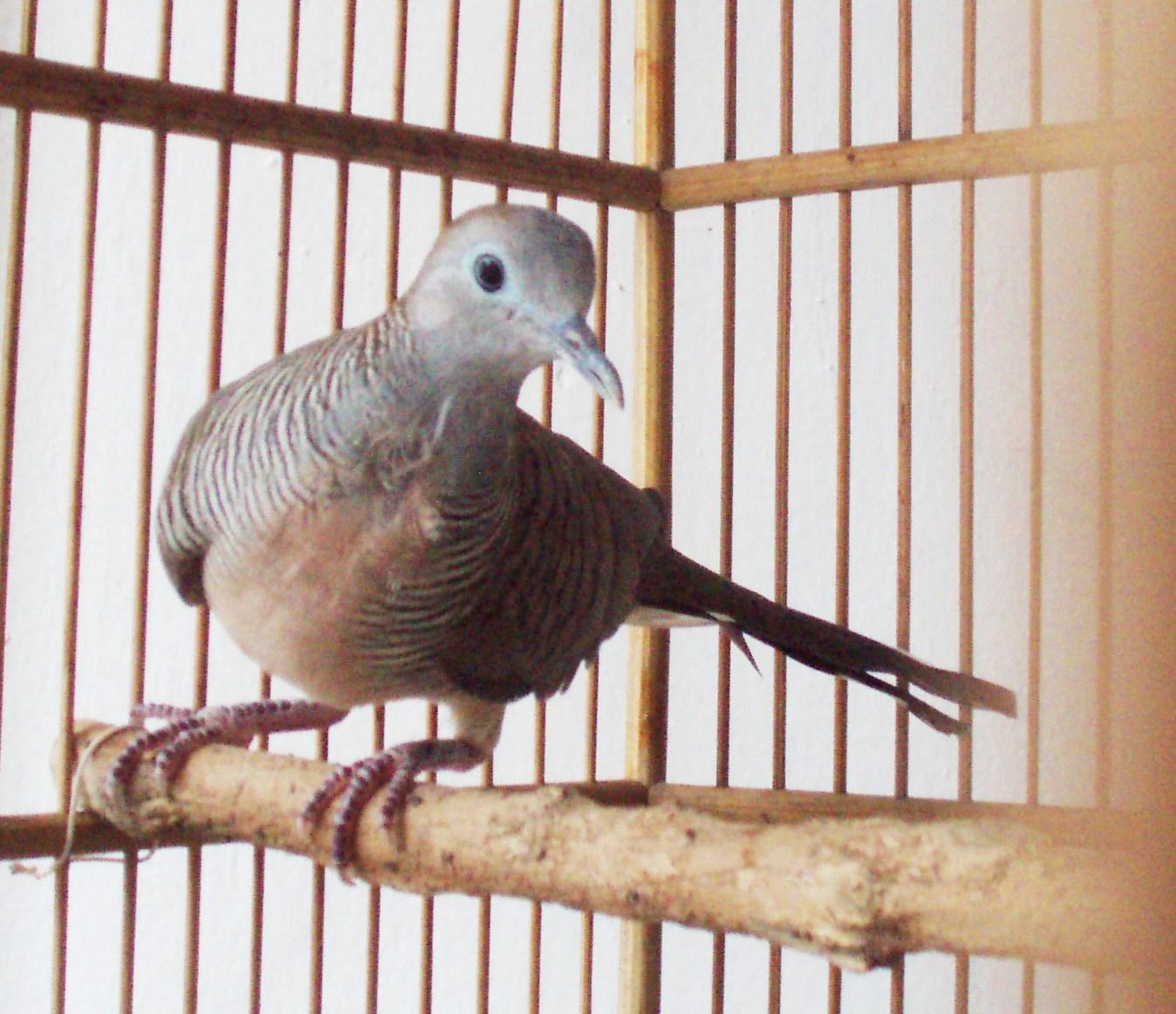 Burung Perkutut  Hewanmu