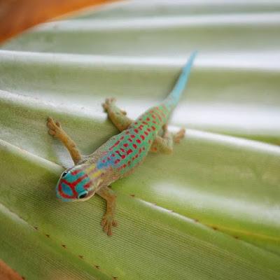 Gecko diurno ornamentado de Mauricio