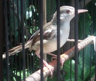 Burung Ciblek - Penyakit Cacingan yang Menyerang Burung Ciblek dan Cara Penangannannya - Penangkaran Burung Ciblek