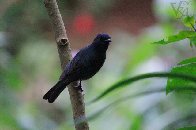Black Flycatcher at Ooty