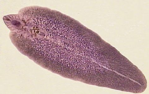 Gambar Penyakit Ikan Lele Cacing Trematoda