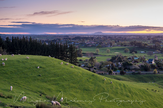 sheep grazing at dusk in the waikato