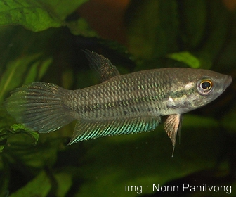 Jenis Ikan Cupang Spesies Betta Pallida