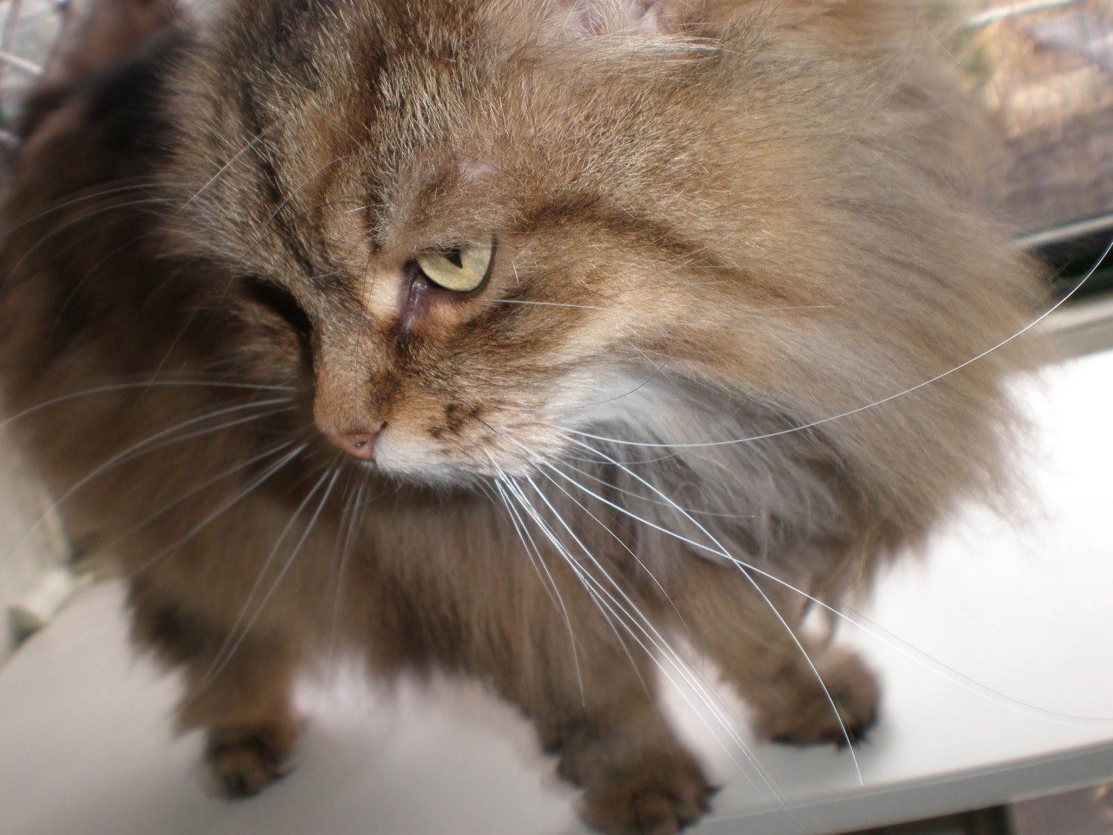 Cooinda Cat Resort - Kitty Kapers: Cat Breeds: Siberian Forest