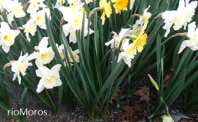 """Hojas de NARCISO Las Vegas Narcissus sp. """"Las Vegas"""""""