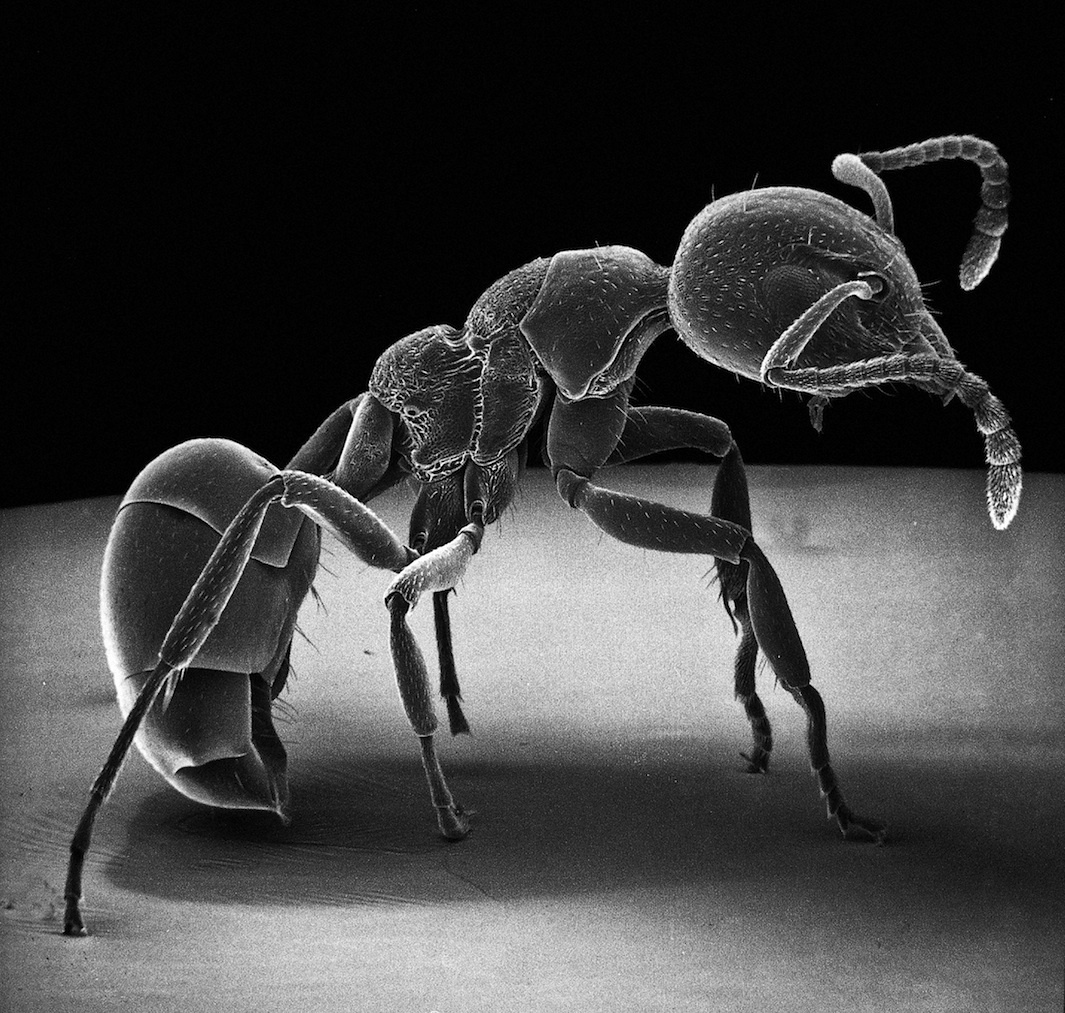 This Wingless Ant Is Exceptional Because The Three Parts Of Thorax can be discerned, each with a pair of legs.