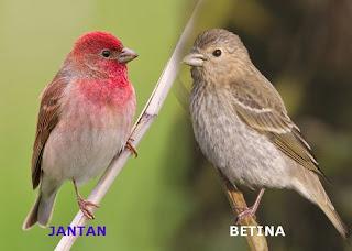 Suara burung rosefinch
