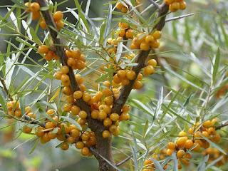 Argousier - Hippophae rhamnoides - Elaeagnus rhamnoides