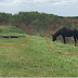 Crocodilo foi atacado por um cavalo e o momento é filmado por turistas