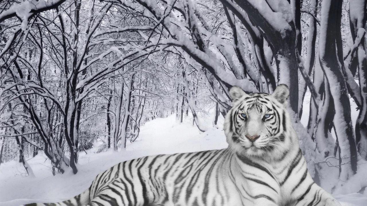 white tiger snow HD