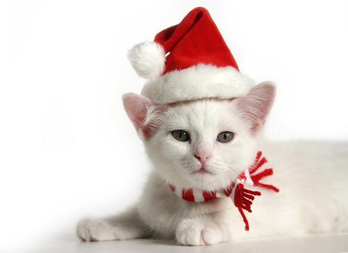 Foto de gato blanco en Navidad