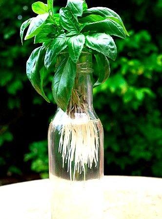 contoh cara membuat tanaman hidroponik