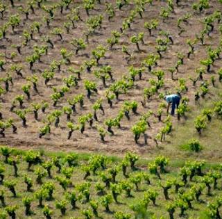 Otro ejemplo de monocultivos y deforestación  lo vemos en esta viña. Si la viña no es ecológica  y se usan herbicidas, insecticidas u otros  agroquímicos las tierras se contaminan  y no permiten la vida salvaje.