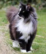 Kucing Norwegian Forest, jenis kucing