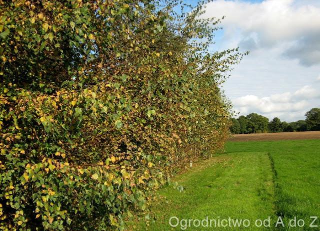 Brzoza, Jesień, Ogród