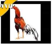 ayam bangkok asli