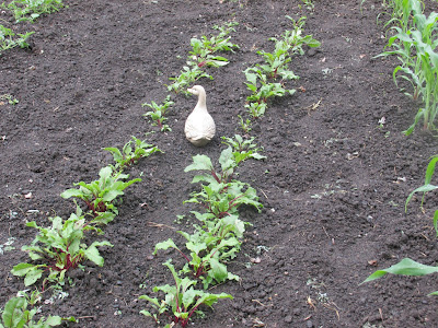 Ornamental duck guarding the beets-Vickie's Kitchen and Garden
