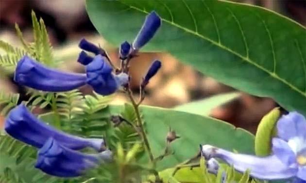 Caroba (Jacaranda brasiliana, Jacaranda procera, Bignonia brasiliana,  Hordelestris syphilitica, Bignonia copaia)