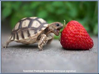 Speckled Padloper Tortoise (Homopus signatus) adalah kura-kura terkecil didunia