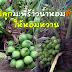 การปลูกมะพร้าวน้ำหอมต้นเตี้ย ให้หอมหวาน