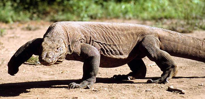 Resultado de imagen de blogspot,  dragón de Komodo