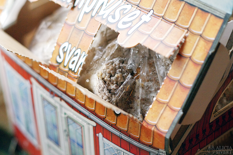 aliciasivert alicia sivert sivertsson odla odling på balkong balkongodling innerstan stockholm ätbart i kruka krukväxt krukväxter växter växt svamp svamphuset ostronskivling
