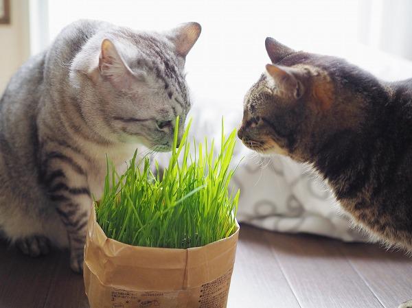 猫草のにおいを嗅ぎに来たキジトラ猫