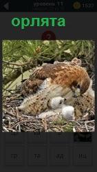 В гнезде уютно устроились орлята с матерью