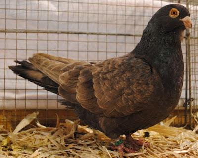 form pigeons - portugal pigeons