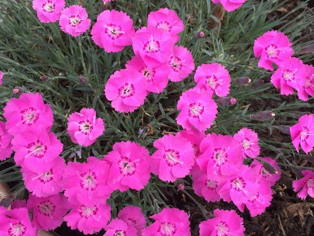 pink blühende Steinnelken
