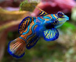 Dunia Ikan Hias - Mandarinfish