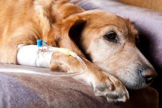 สุนัขเป็นมะเร็ง เนื้องอก การดูแลและรักษาดีจะยืดอายุได้ สมุนไพรที่ใช้ วิธีรักษา วิธีทานสมุนไพร รักษา มะเร็งหรือเนื้องอกในสุนัข