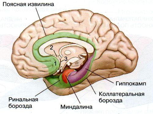 Область мозга отвечающая за секс