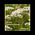 Nữ lang ( Valeriana ), Valeriana officinalis,VAL00139