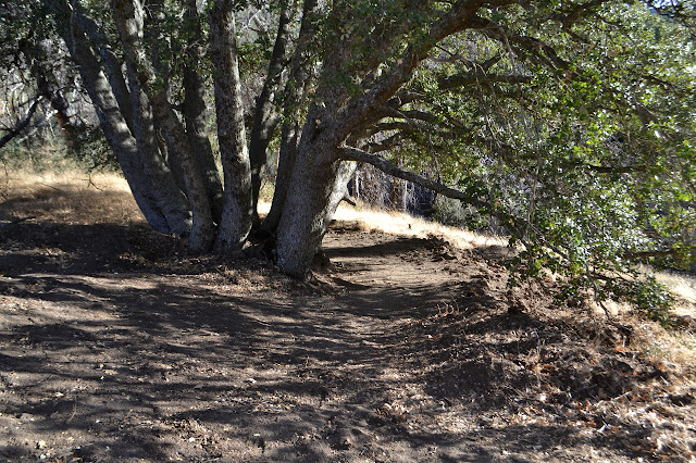 endangered oak