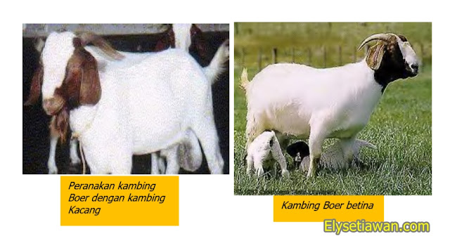 contoh kambing manggala