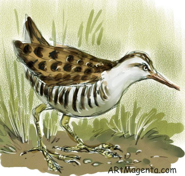 Water Rail, bird sketch by Artmagenta