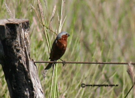 Rufous rumped Seedeater